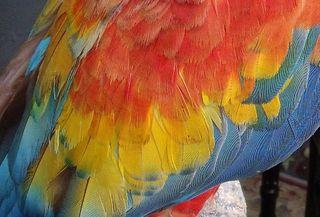 Le plumage de mon coco