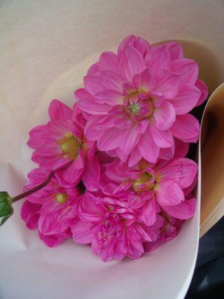 Pink dhalias