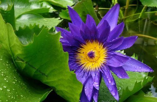 Lotus apres la pluie Koh Chang