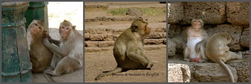 Lopburi monkeys Collage