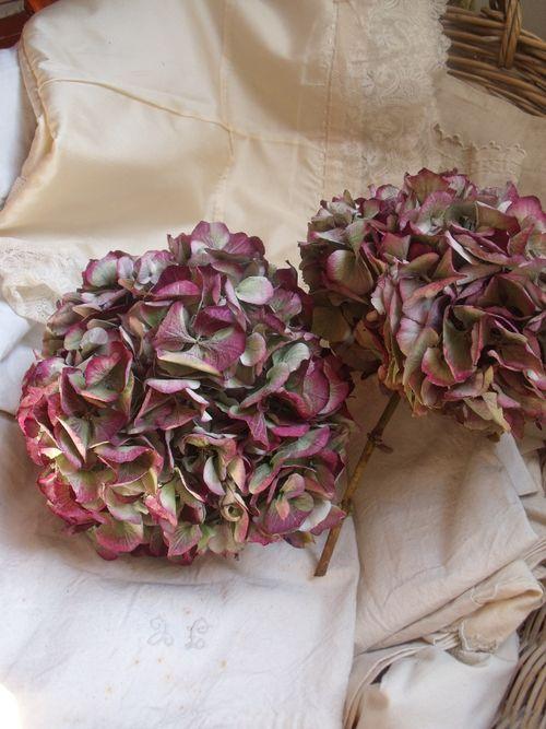 Old pink hydrangeas